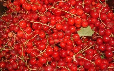 Fresh Redcurrants