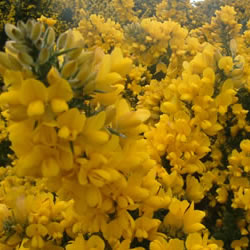 Gorse Flower Wine